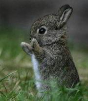 hurrah-bunny